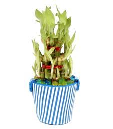 Buy Good Luck Bamboo Plant in Eva Basket thanksgiving-gift online